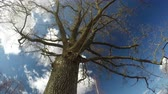 carvalho : Spring time old oak trunk with branches and beautiful clouds motion on sky, time lapse Stock Footage