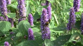 homeopati : Bumblebee on  medical anise hyssop flowers in garden Stok Video