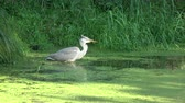 ornitoloji : Wild bird Grey heron Ardea cinerea catch small fish
