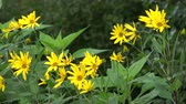 helianthus : Blossoming vegetable Jerusalem artichoke flowers background in wind in garden