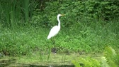 fishing : Bird Great white heron  walking on summer pond coast Stock Footage