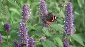 гомеопатический : butterfly red admiral and bumblebee on blossoming anise hyssop flowers