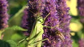 polinização : Green grasshopper Tettigonia viridissima and honeybee on blossoming medical herb anise hyssop flower