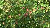 crab apple : Crab-apples and tree branch with leaves video background in wind