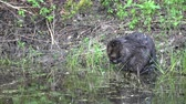 bóbr : Beaver Castor fiber morning makeup care his fur and body on lake coast