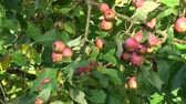 crab apple : Summer end wind and crab apples branch with ripe fruits