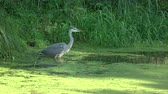 fishing : Bird Grey heron in summer pond