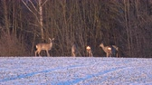 geada : Group animals roe deer on frosty winter end farm field in morning