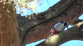 pinha : Great spotted woodpecker Dendrocopus major pan hull pine cone on tree