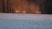 wintertime : Roe deer group on winter farmland field and bushes Stock Footage