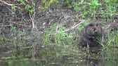beaver : Beaver Castor fiber dive into water from lake coast Stock Footage