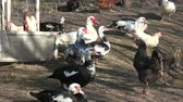 yards : Beautiful domestic ducks group in farm