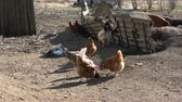 peří : Chickens  and cock rooster in farm