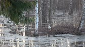 návrat : First white stork Ciconia visit in spring forest with water flood and ice
