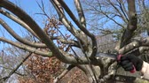 eldiven : Farmer Gardener cut apple tree branch in early spring