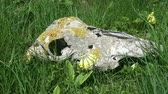 dead animal : Old broken horse skull in spring meadow and  blossoming yellow primrose cowslip flower in wind Stock Footage