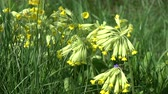 perennial : Spring primrose cowslip flowers background in wind