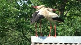 telhado : Pair white storks Ciconia ciconia chattering clattering on farm barn old roof