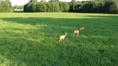 3 : Drone hover above three roe deer on green summer morning meadow, aerial view 動画素材