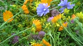 malmequer : Various fresh medical herbs flowers rotating background. Marigold, St John's wort,  clover, common chicory