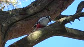 Great spotted woodpecker pan hull pine cone on tree
