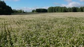 boekweit : buckwheat field in summer from drone, aerial view Stockvideo