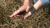 ripened : Farmer agronomist looking ripe rapeseed pods and grain condition Stock Footage