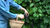 vinice : Harvesting pick ripe northern grapes in garden