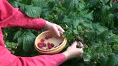 Gardener hands picking harvesting fresh raspberries in wicker basket plate