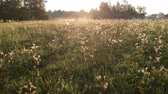 toile araignee : Beautiful sunrise  meadow with dewy spider webs from drone Vidéos Libres De Droits