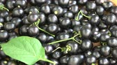 homeopatia : Black nightshade Solanum nigrum berries rotating background