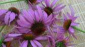 homeopatia : Rotating echinacea coneflower medical herb bunch on bamboo mat