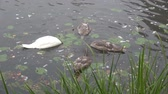 dziecko jedzenie : Adult white swan and three juvenile birds search food in river water