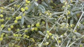 medicina alternativa : Rotating wormwood absinthium bunch food background Stock Footage