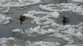 drifts : Pair mallard ducks on spring river water in ice drift time