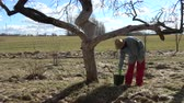 apfelbaum : Gardener woman whitening old apple tree trunk in early spring