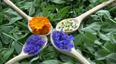 수레 국화 : Medical summer tea herbs rotating in wooden spoons on mint background