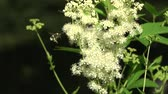homeopatia : Summer time medical herb meadowsweet flowers and bumblebee