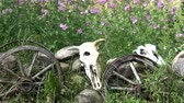 リマインダー : Domestic animals skulls on stones, horse carriage wheels and garden flowers in wind