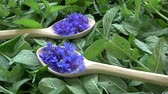 수레 국화 : Rotating beautiful medical and tea herbs – cornflowers in wooden spoons on mint fresh background