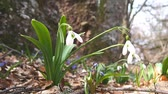 Spring snowdrop swinging in the wind Wideo