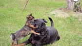 engedelmes : A small, long-eared dog tenderly plays with a large rottweiler