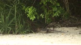 varanus : varan crawls away off sand into jungle in the rain Stock Footage