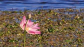 botany : wind shakes pink lotus flower and bud against round leaves and blue water Stock Footage