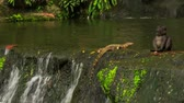 salvator : varanus salvator large water monitor lizard scrambles out of waterfall to stony bank in park