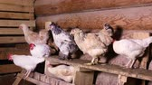 cackle : Group of domestic hens sitting on a roost in the chicken coop