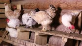 cackle : Group of domestic chickens sitting on a roost in the chicken coop