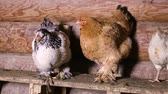 cackle : Domestic chickens sitting on a roost in the chicken coop