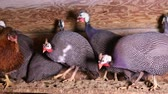 cackle : Group of domestic Helmeted guineafowls sit on the roost on the farm