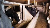 nourish : Dairy cows eating hay standing in the stall on the rural farm